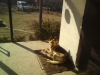 Sendy-zachranena 2011 pred smrti hladem nyni v novem domove u Lukase z Olomouce