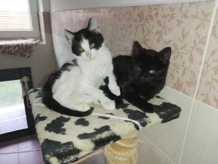 TOM a MÍNA kocour a kočka , věk 8 měsíců. Nalezeni vyhození v lese. K lidem zatím bázliví s kočkami i kocoury nemají problém. Zvyklí v domě chodí na kočičí wc. Podmínka adopce kastrace kocoura, kočka uź je kastrovaná. Více info na tel 604310280